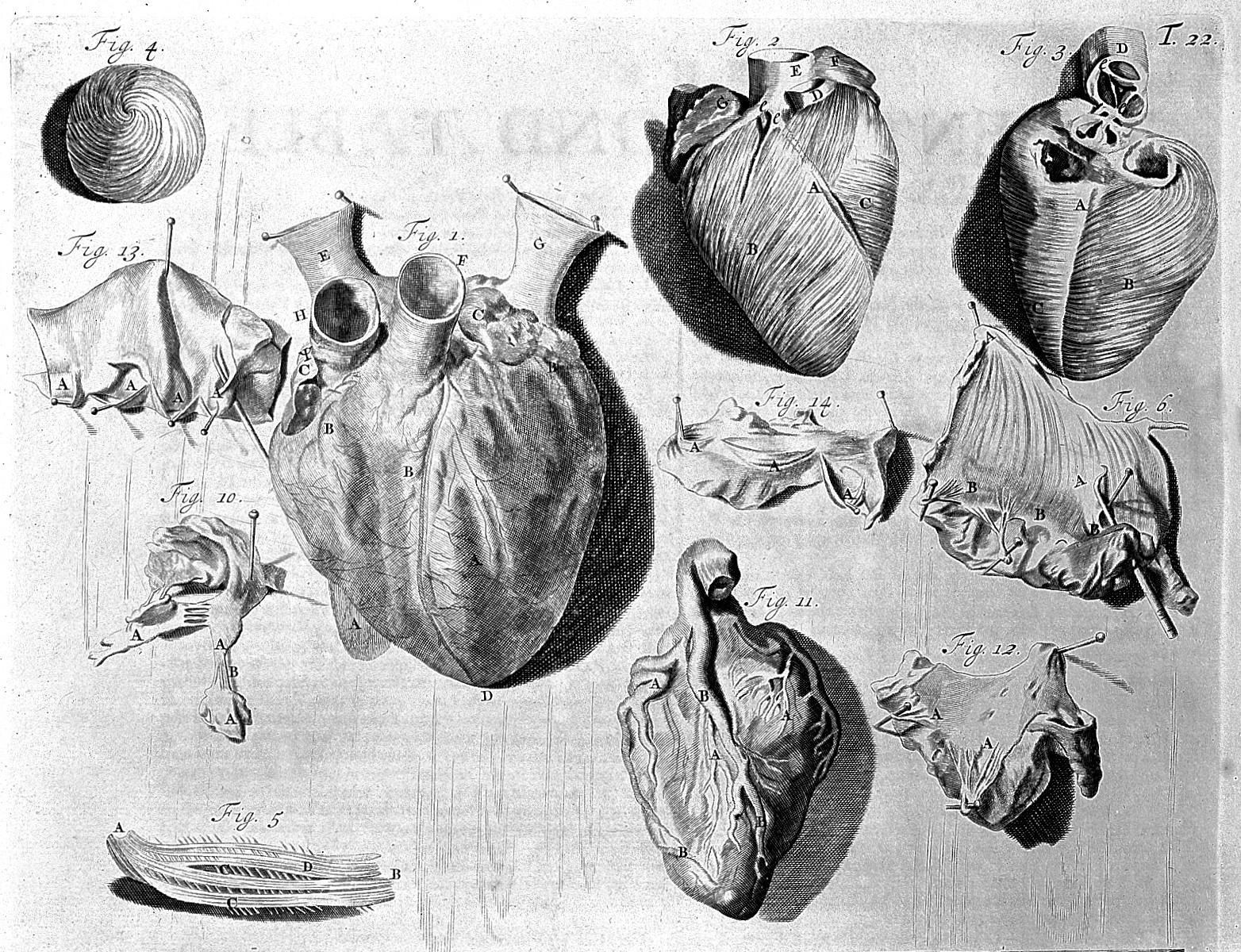 File:Heart illustration, 18th century Wellcome L0000339 ...