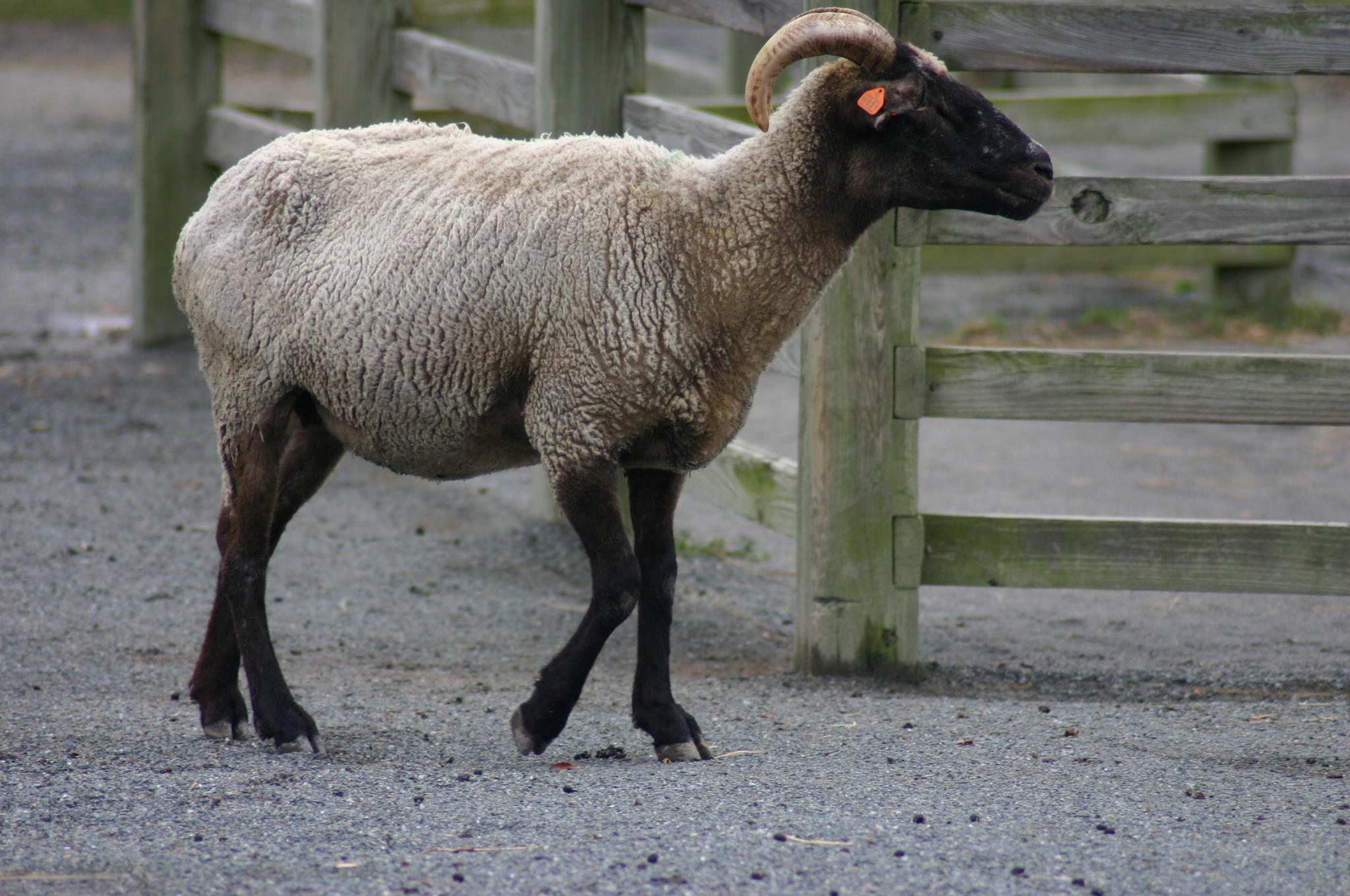 file hog island sheep at norfolk zoo 2 jpg wikimedia commons