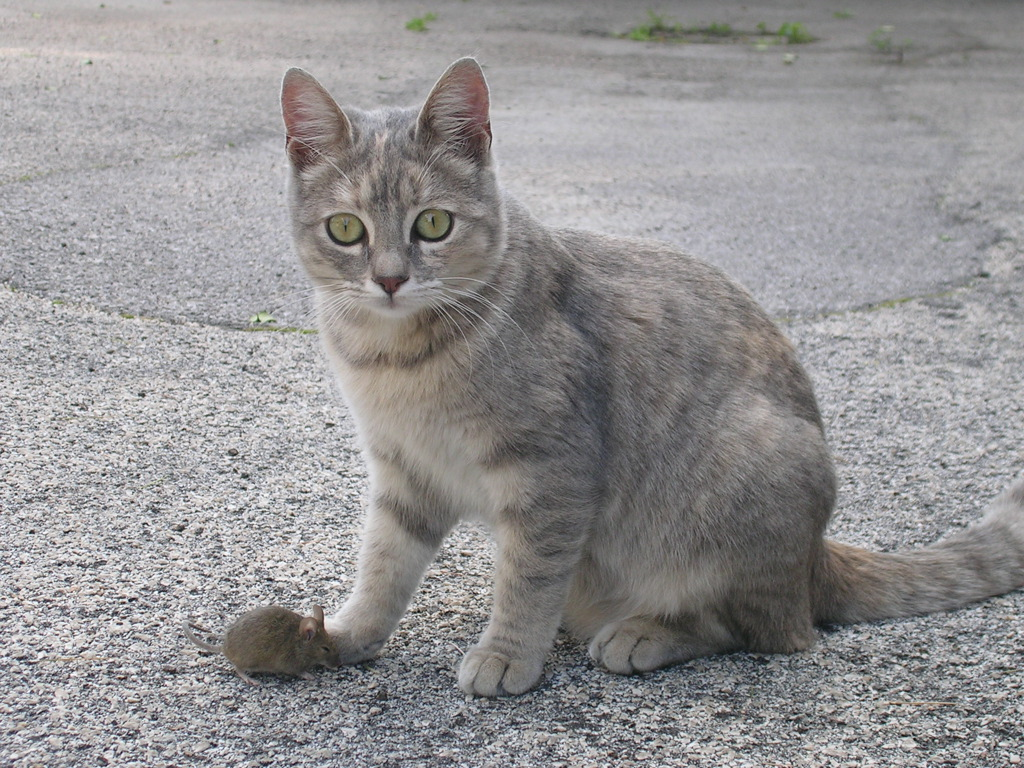 Hauskatze im Größenvergleich zu einer Maus