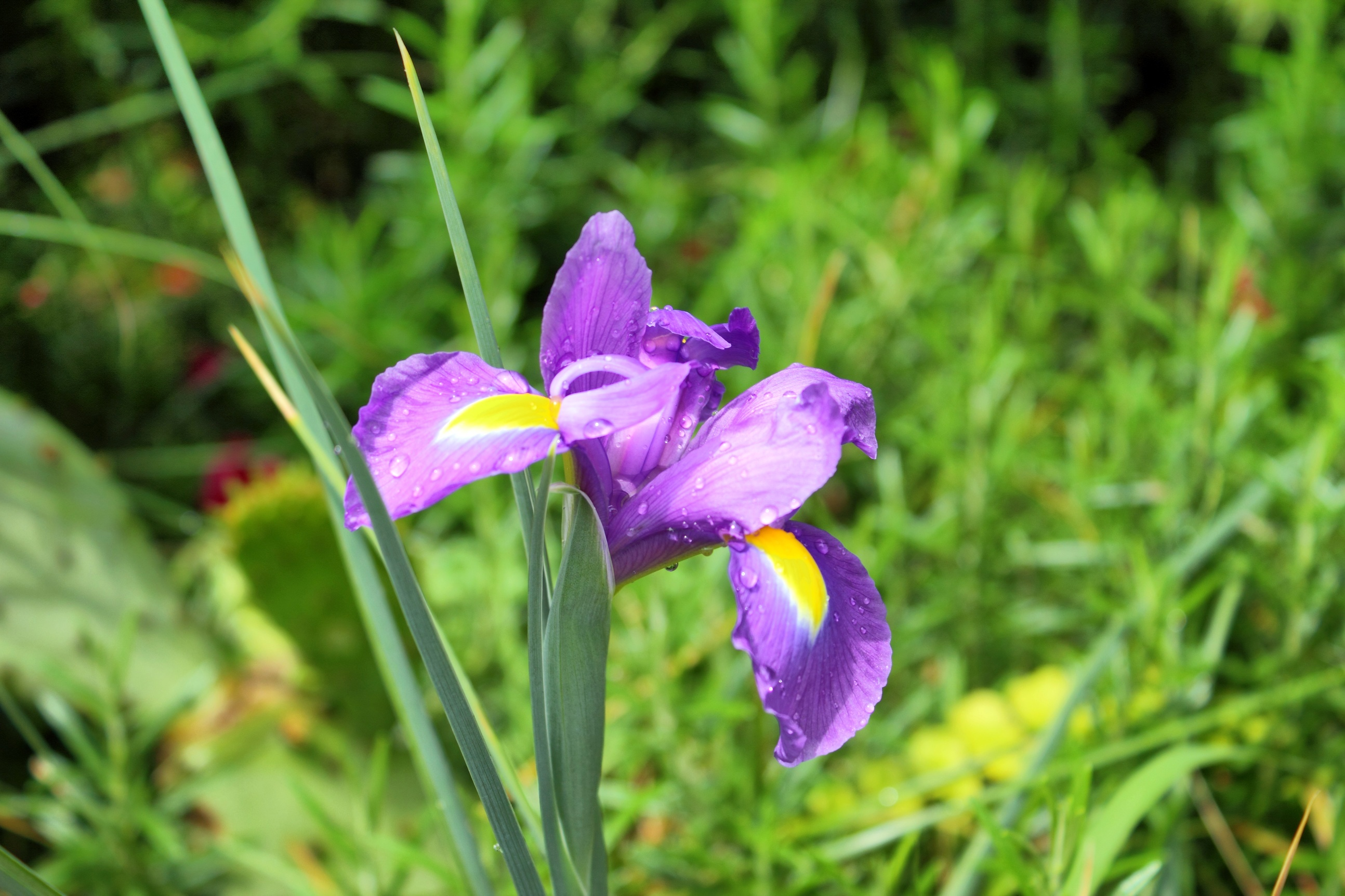 Image gallery iris plant for Planting a garden