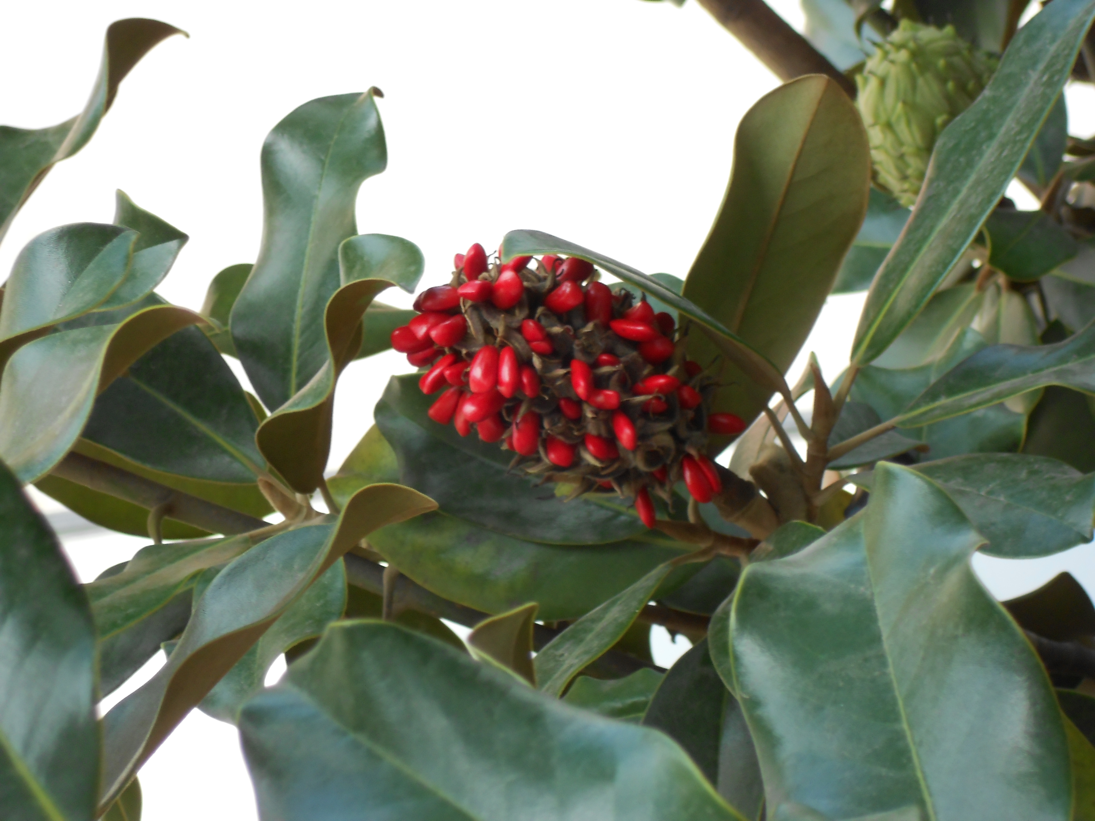 Filemagnolia Fruit South Americajpg Wikimedia Commons