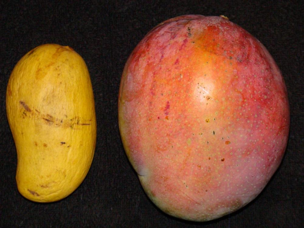 Ataulfo (mango) - Wikipedia