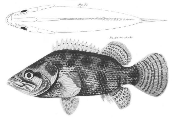 Nanderbarsche – Wikipedia