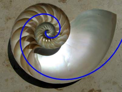 Nautilus - złota proporcja z Wikimedii Commons