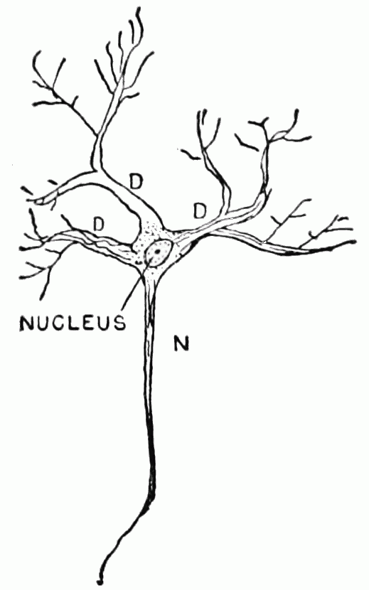 PSM V51 D665 Nerve cell nucleus depletion due to activity.png