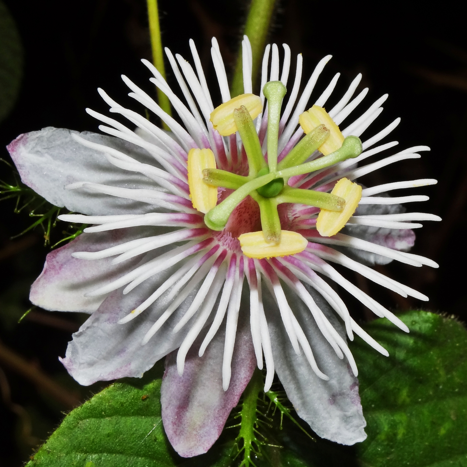 Flower detail of passion flower passiflora family flower detail of passion flower passiflora family passifloraceae in tumkur dhlflorist Images