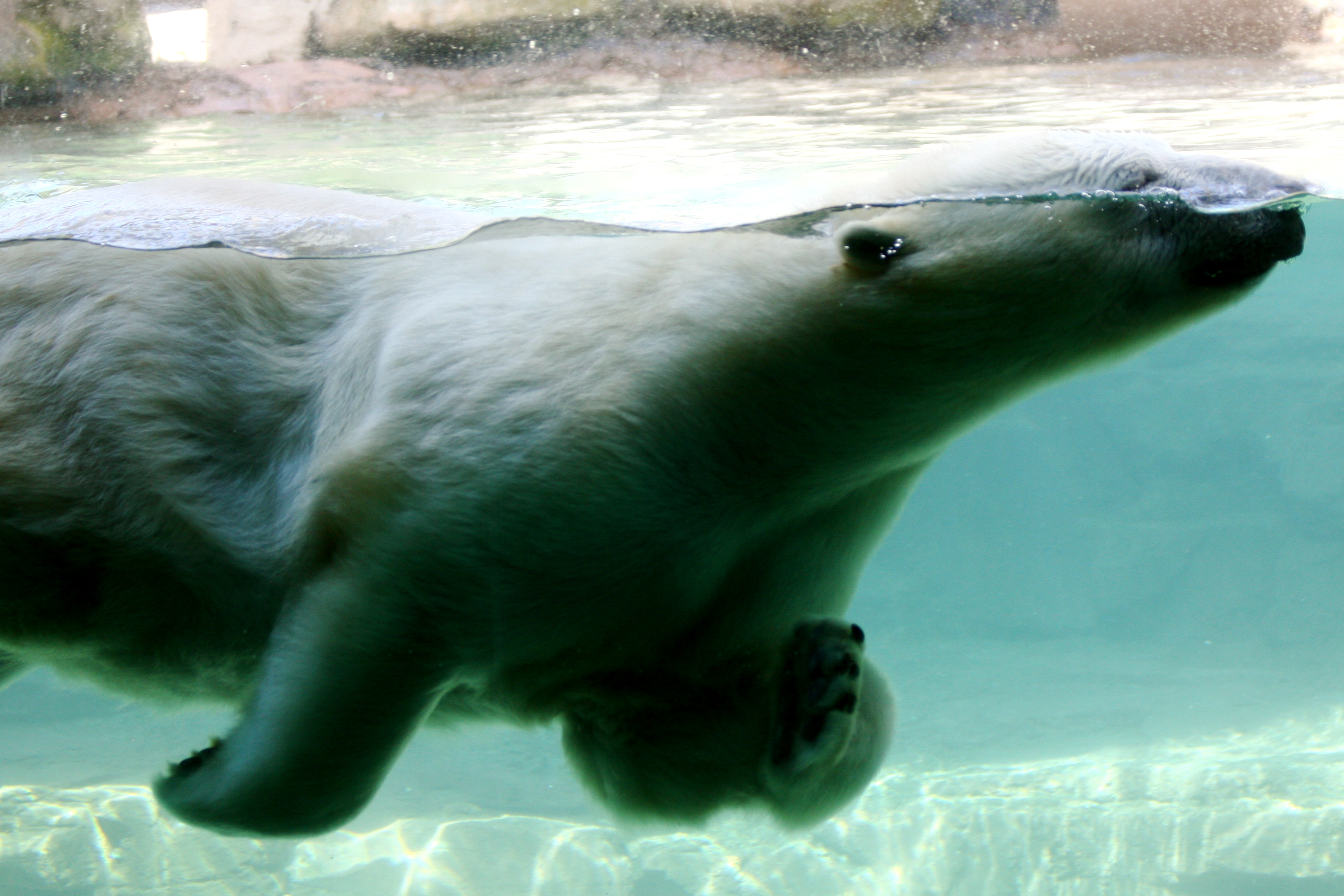 File Polar Bear Swimming Memphis Zoo Jpg Wikimedia Commons