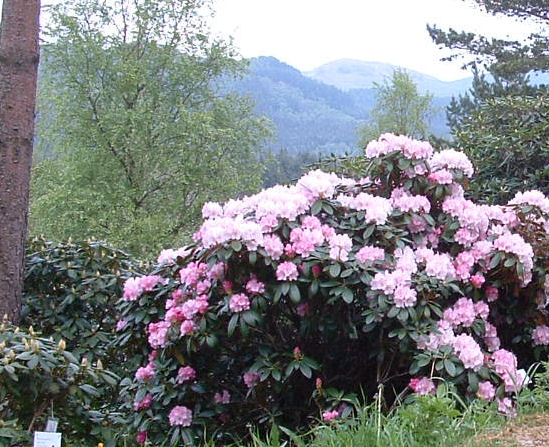 File:RhododendronRogaland aboret.jpg