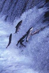 spawing salmon
