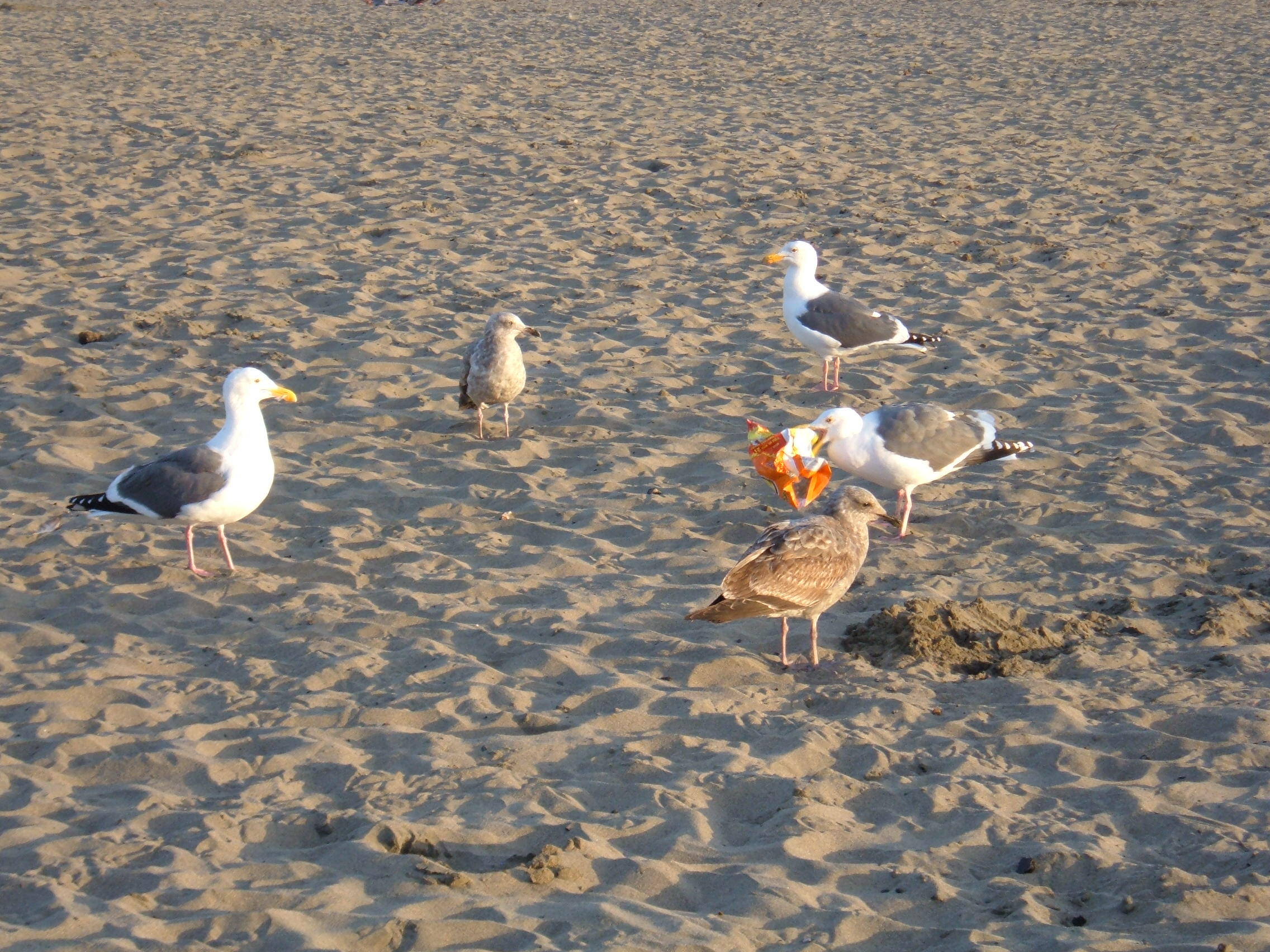 File:Seagulls feeding on junk food at Ocean Beach 1.JPG - Wikimedia Commons