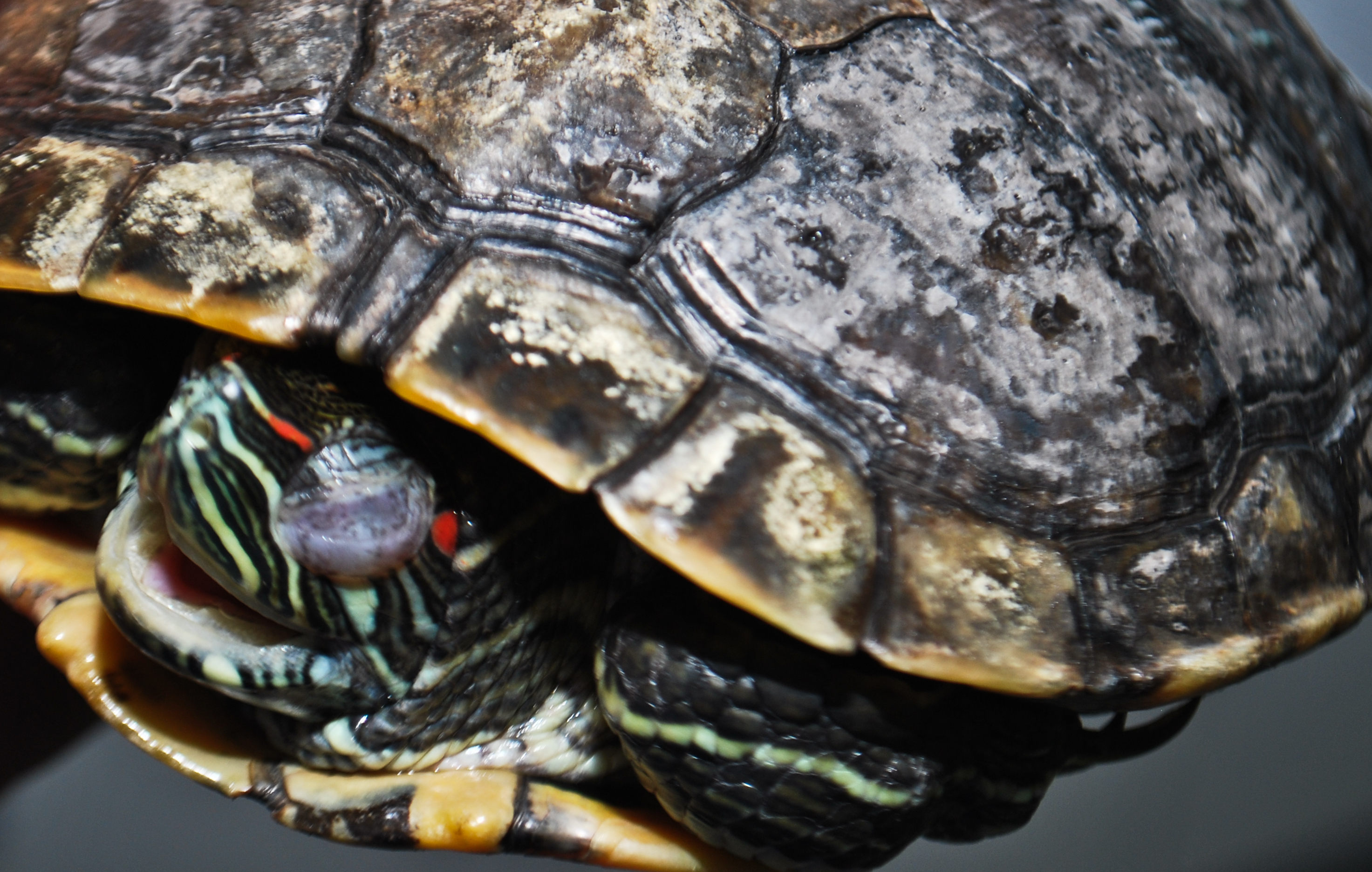Turtle Shell Rot Related Keywords - Turtle Shell Rot Long ...