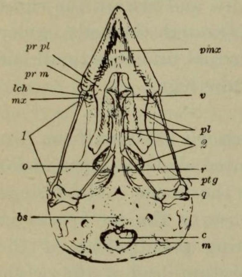 Skull_of_Sparrow file skull of sparrow jpg wikimedia commons