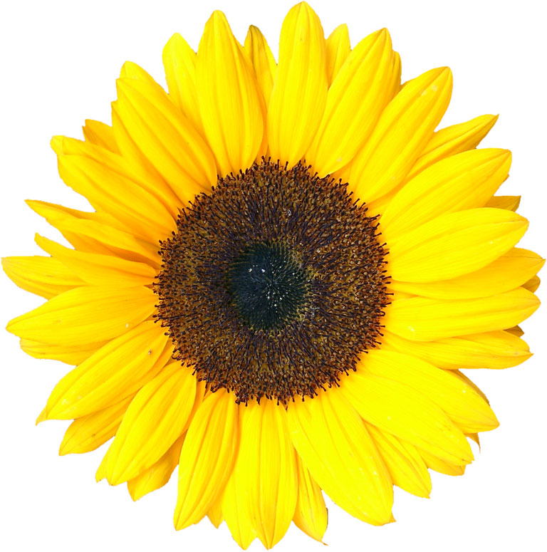 Sunflower (mathematics) - Wikipedia