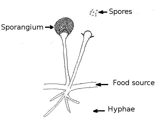Diagrams of Fungi http://commons.wikimedia.org/wiki/File:Structure_of_fungus.jpg