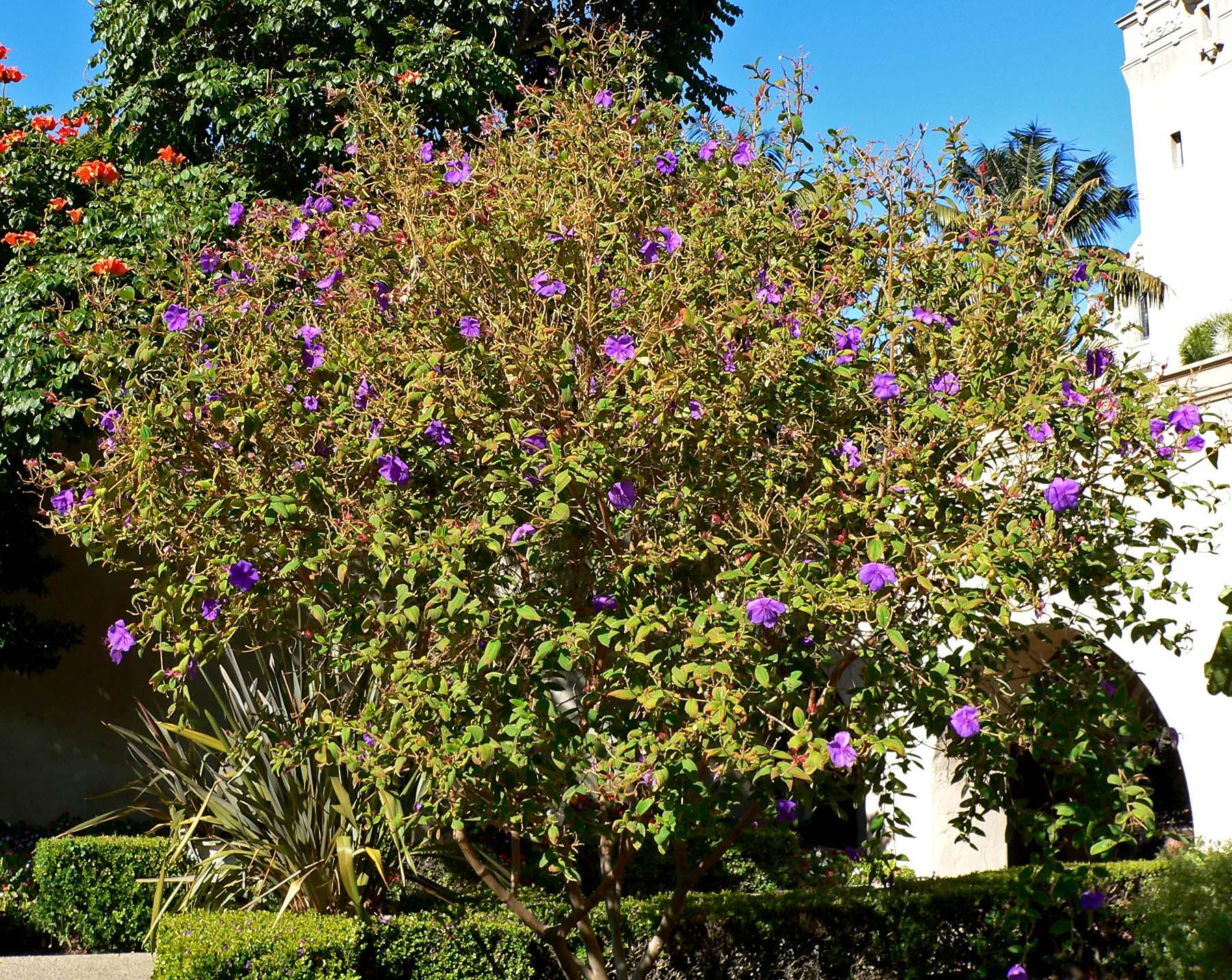 Tibouchina urvilleana Glory Bush Princess Flower Purple Glory Bush
