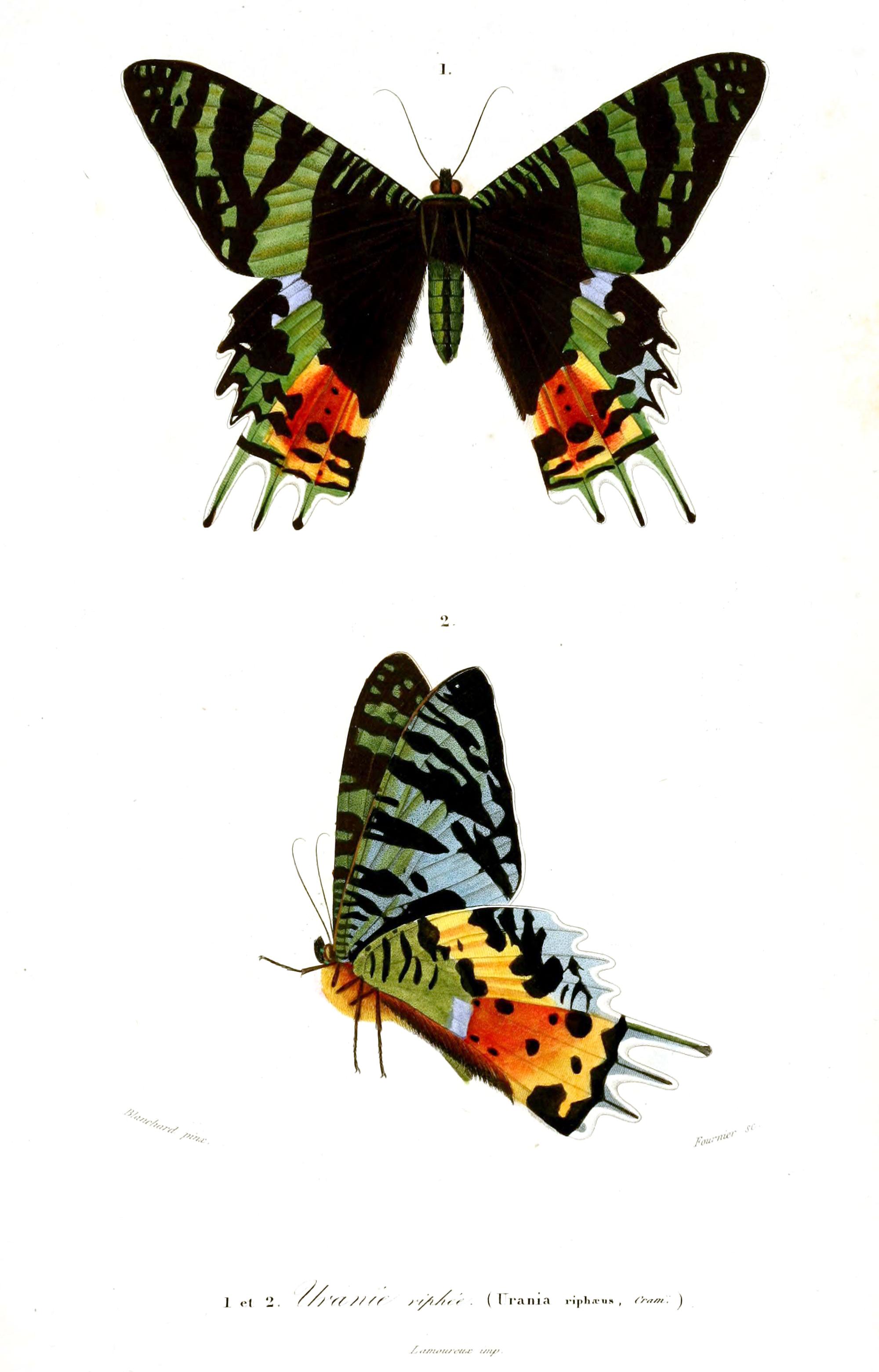 Chrysiridia rhipheus - Wikipedia