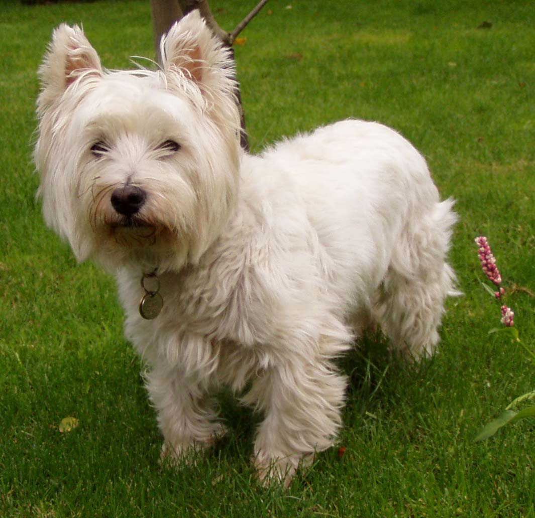 Description West Highland White Terrier.JPG