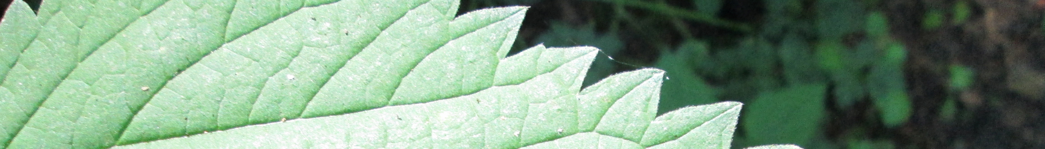 Can Nettles Cause Blisters On Dogs