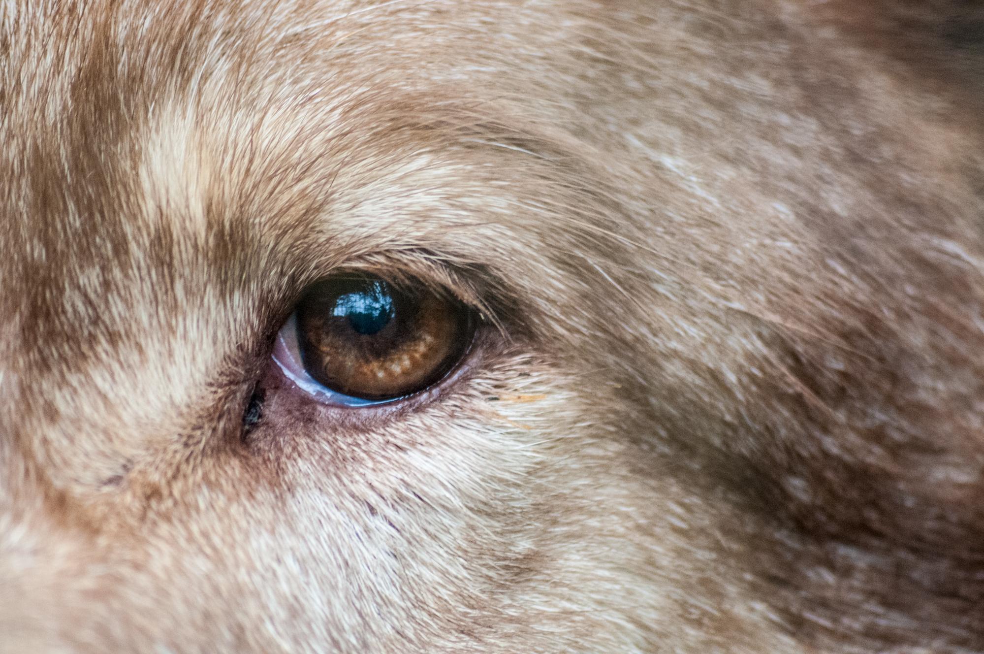 Filewolf Eye In So Paulo Zoog Wikimedia Commons