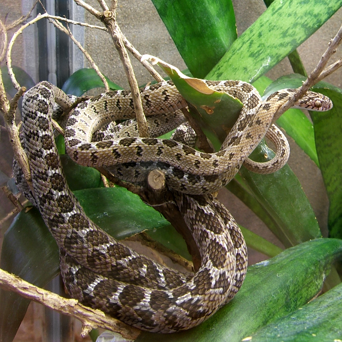 Afrikanische Eierschlangen – Wikipedia