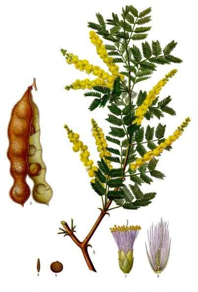 Acacia senegal - Wikipedia