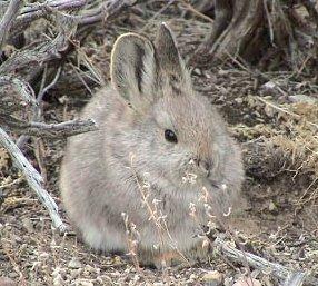 Pygmy rabbit Species of mammal