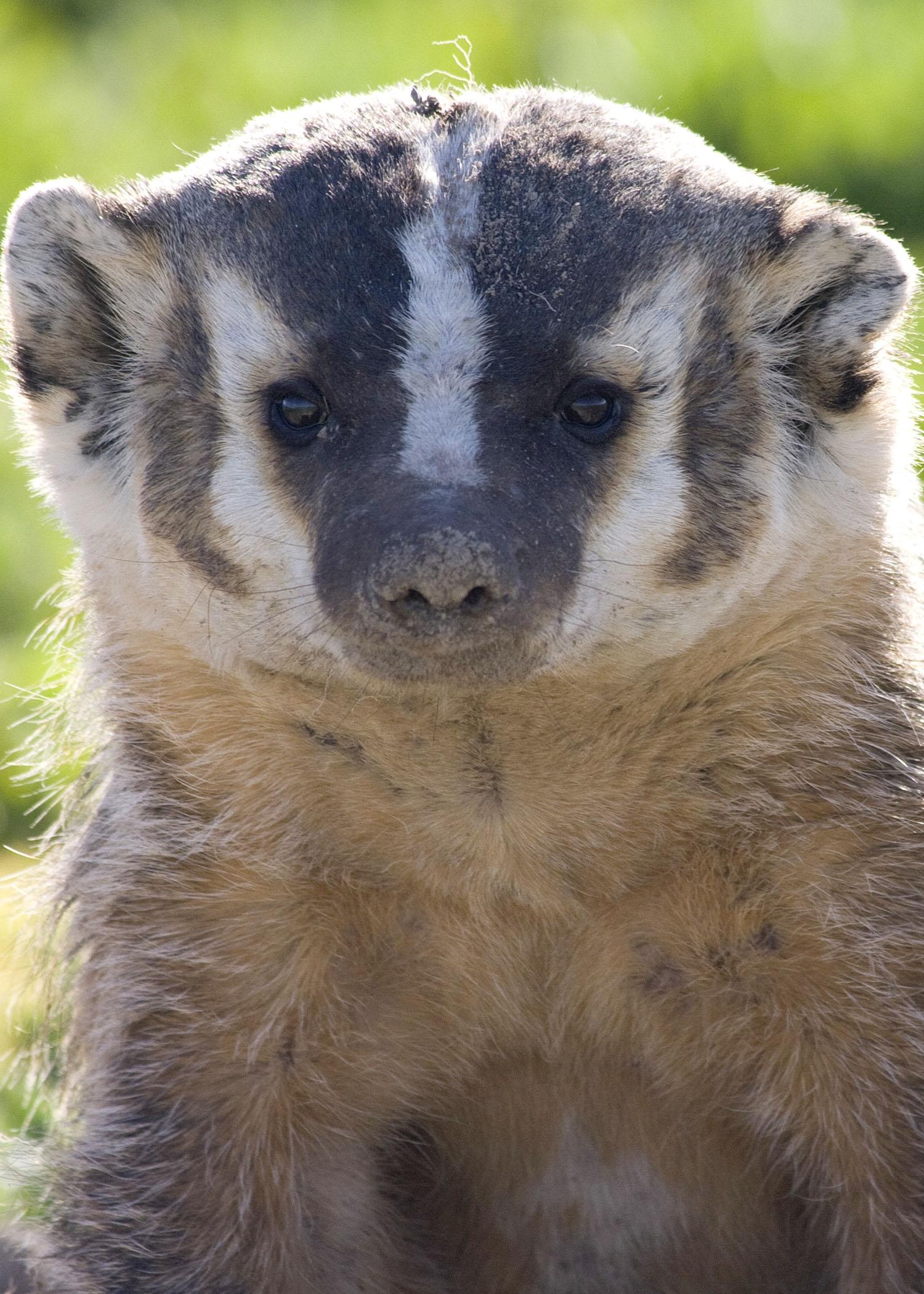 badger odfw.jpg