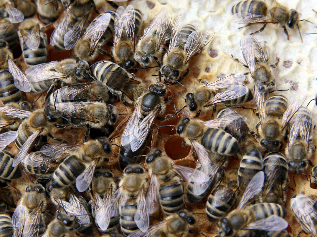 queen bee The central figure have you ever wondered what role the queen really plays within the hive she certainly plays a vital role, but what exactly is that role let's look at the life of a queen, from the beginning of her life to the very end the queen, of course, is pivotal to everything that happens within a healthy bee hive.