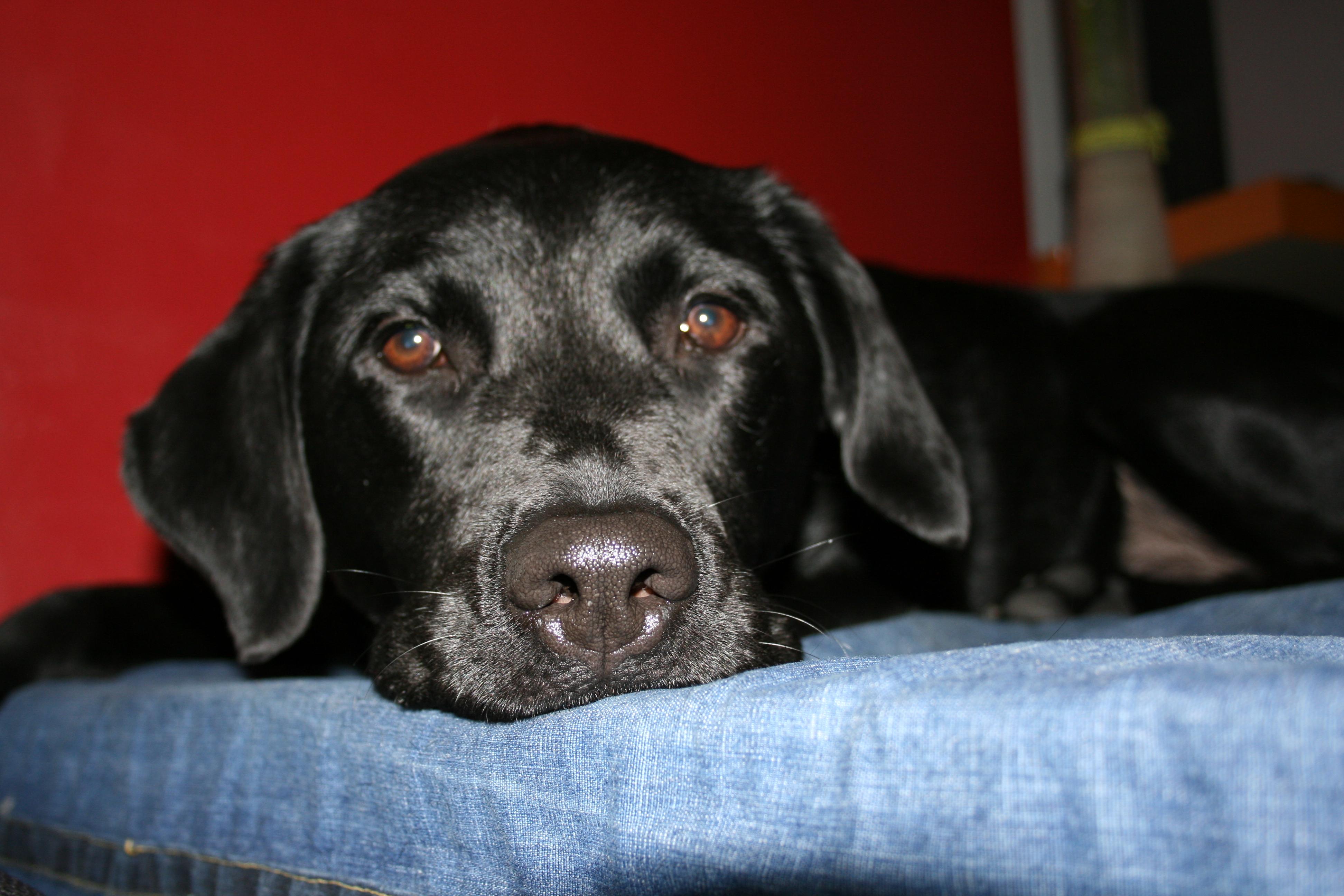 File:Black Labrador retriever resting its head on blue ...