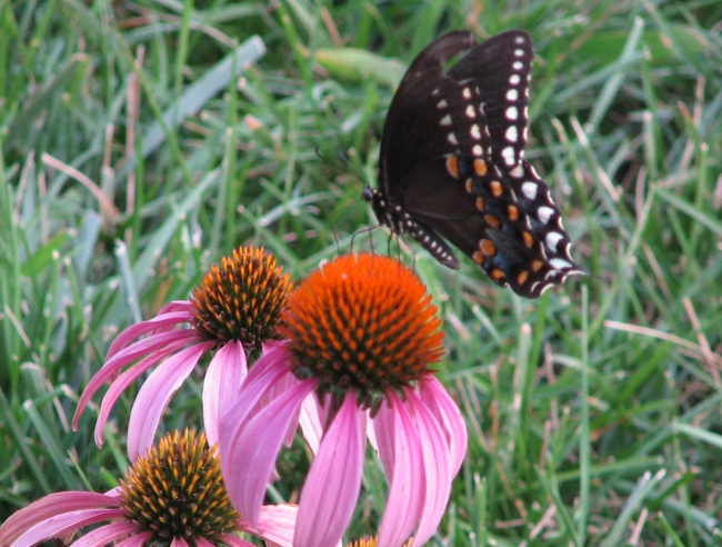 US natives: black swallowtail butterfly on purple coneflower. Wikimedia Commons.