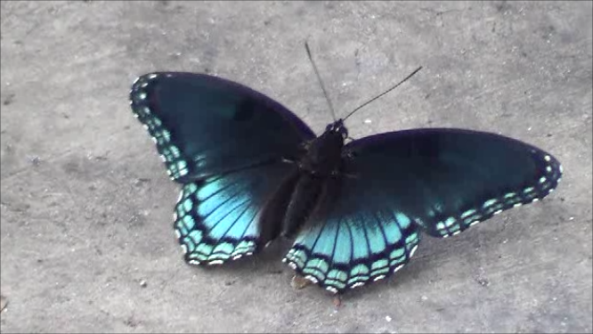 fileblue black butterflypng wikimedia commons