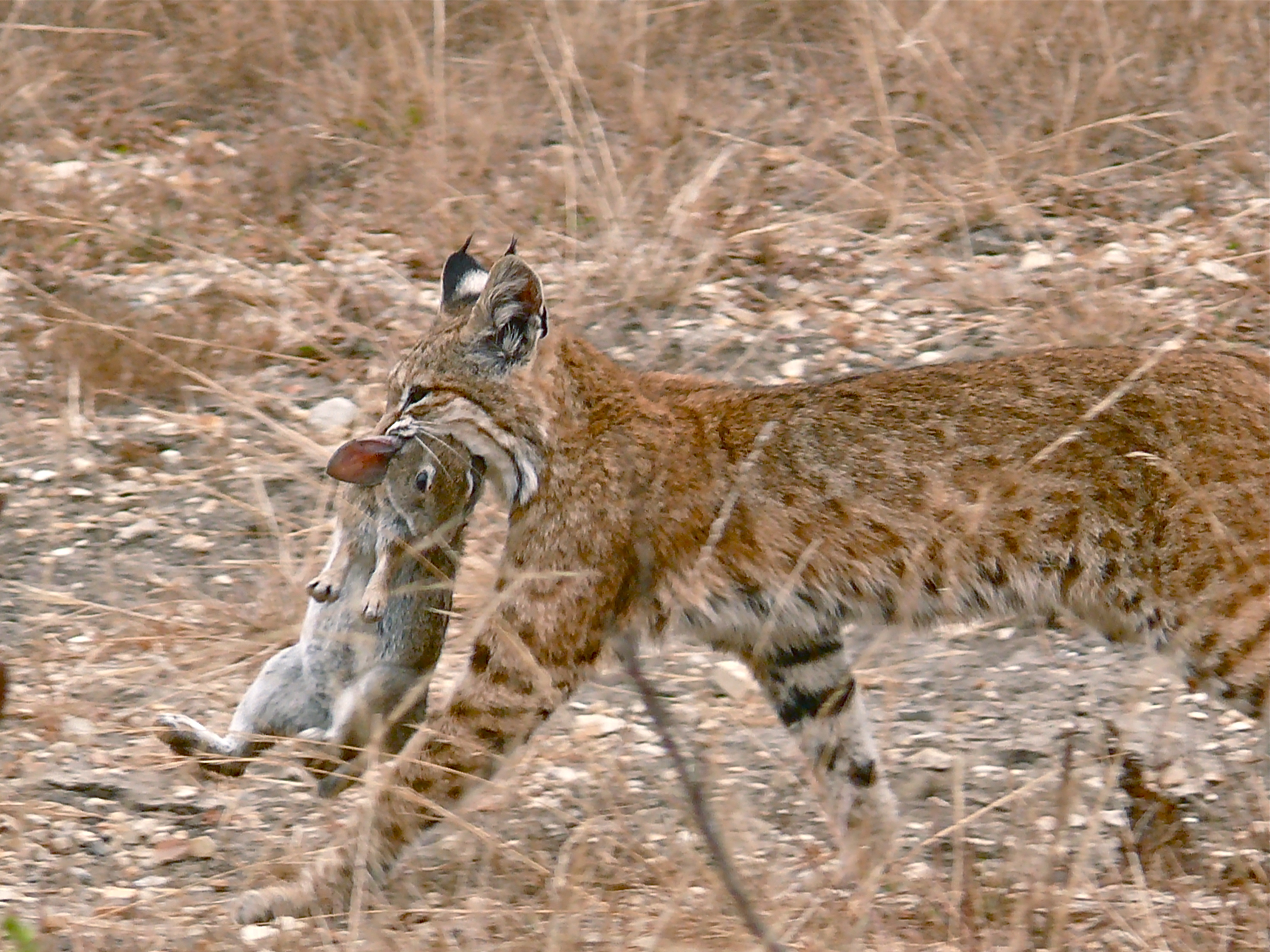 Description Bobcat having caught a rabbit.jpg