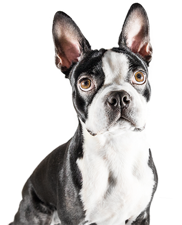 Do Boston Terriers Make Good Therapy Dogs