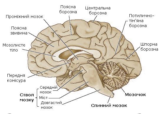 Головний мозок.