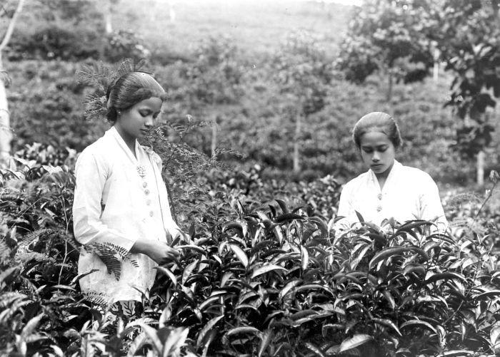 Wanita Sunda pemetik teh di masa Hindia Belanda