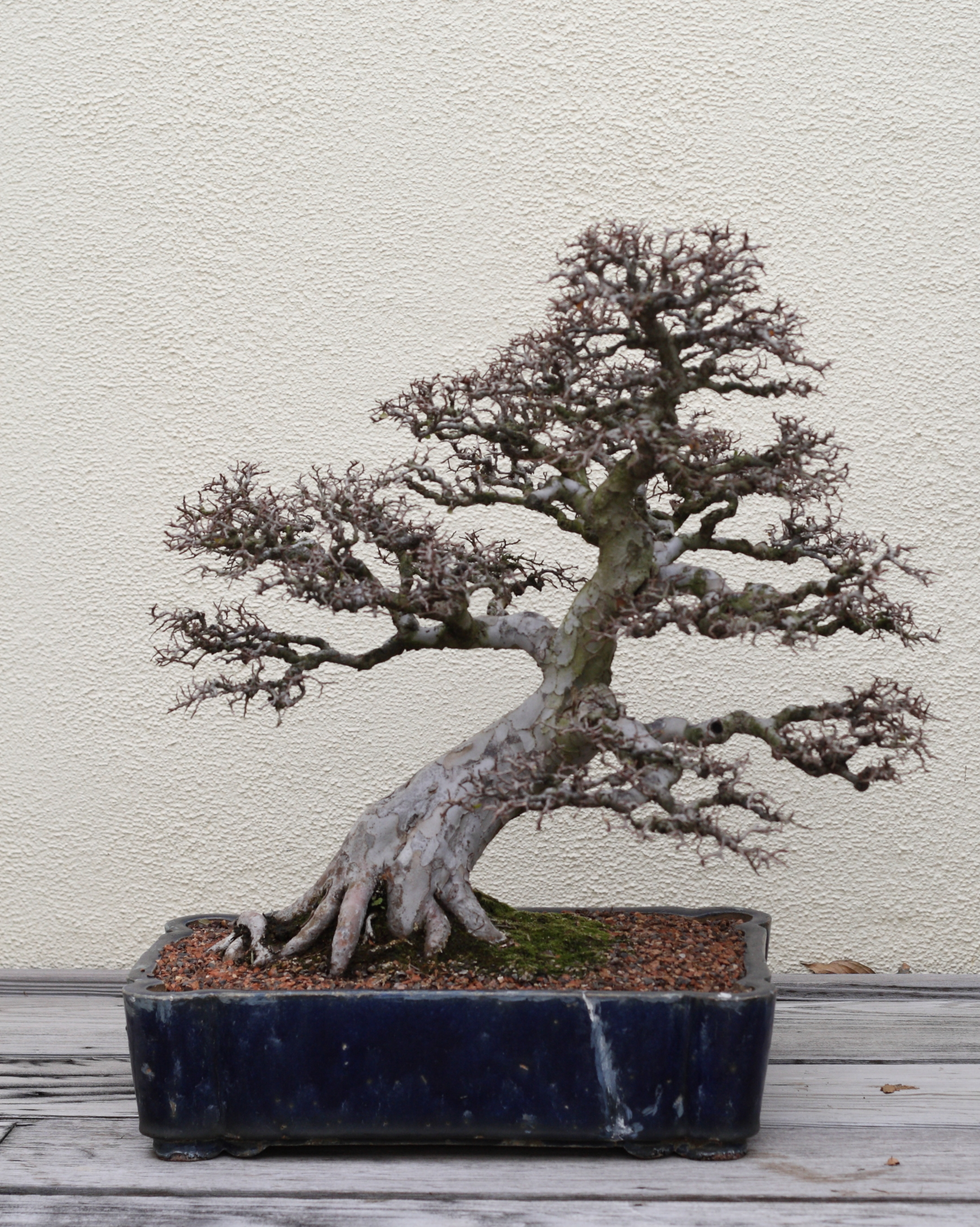 a chinese elm ulmus parvifolia bonsai chinese collection 111 on display at chinese elm bonsai tree
