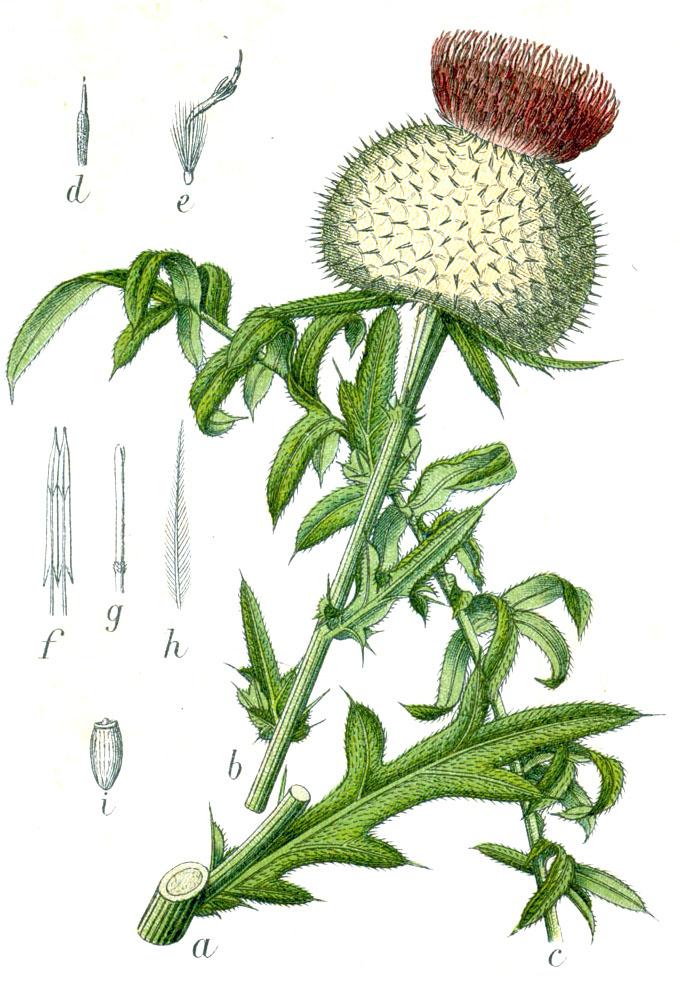 Pichliač bielohlavý (Cirsium eriophorum)