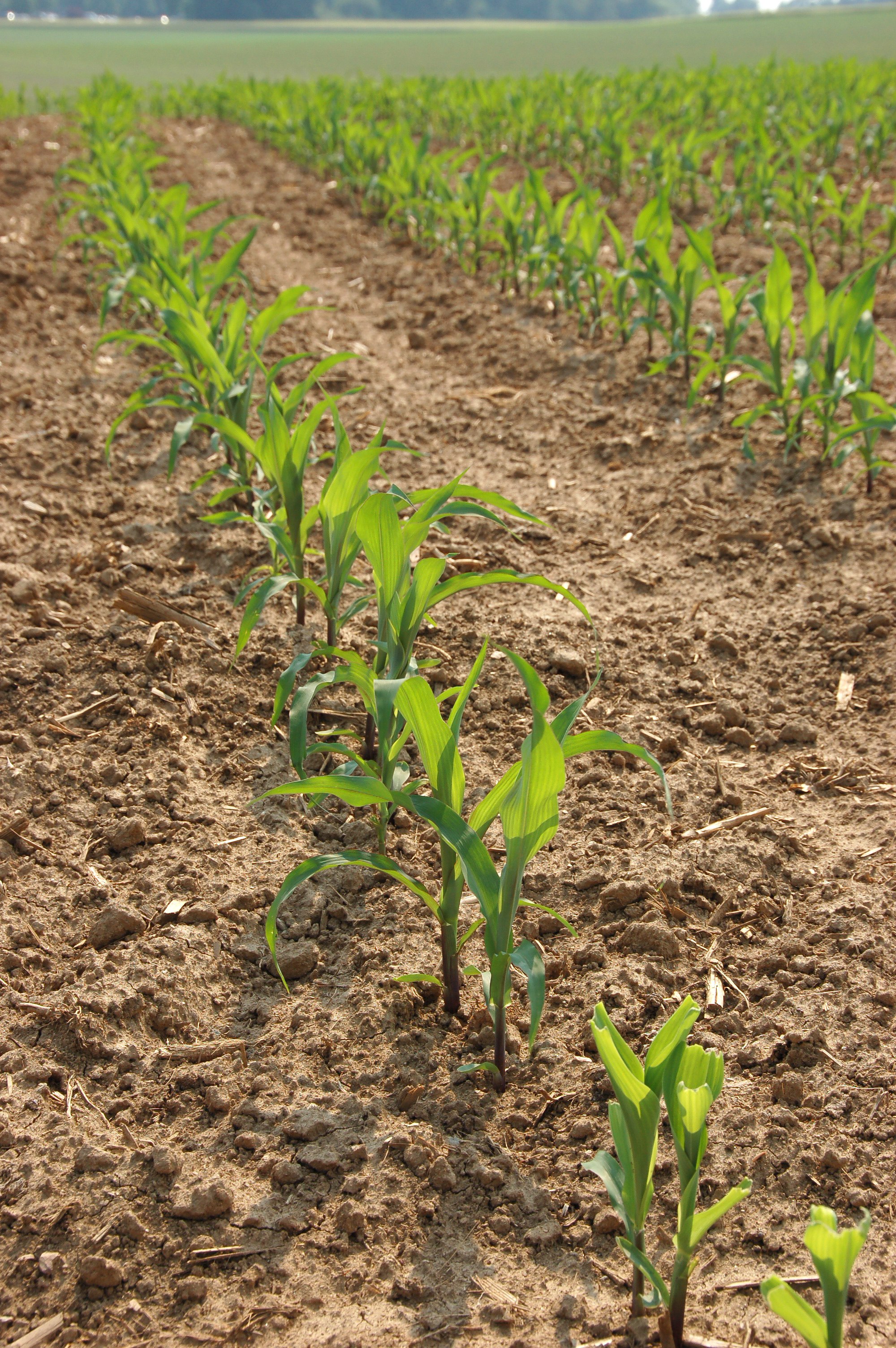 Image Result For Young Corn Plants