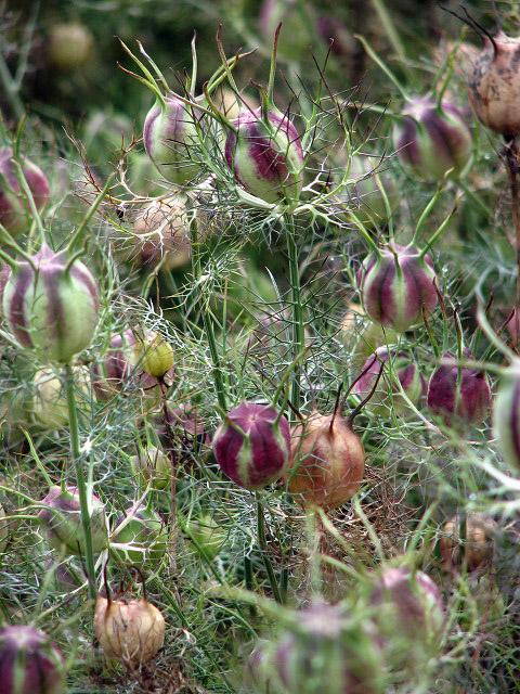 FileCottage garden flowers Nigella spec geographorguk