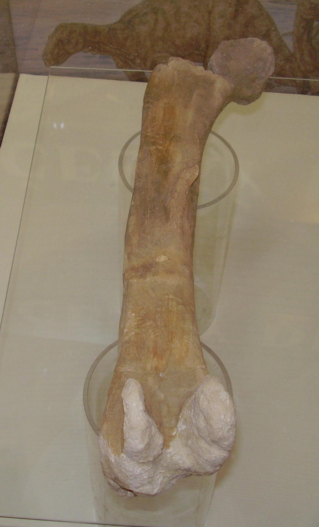 Czech iguanodontid fossil.JPG
