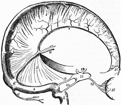 EB1911 Brain Fig. 1-Dura Mater.jpg