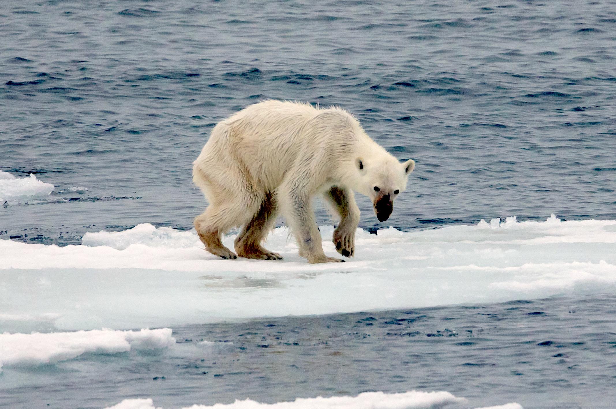 Image result for polar bear global warming