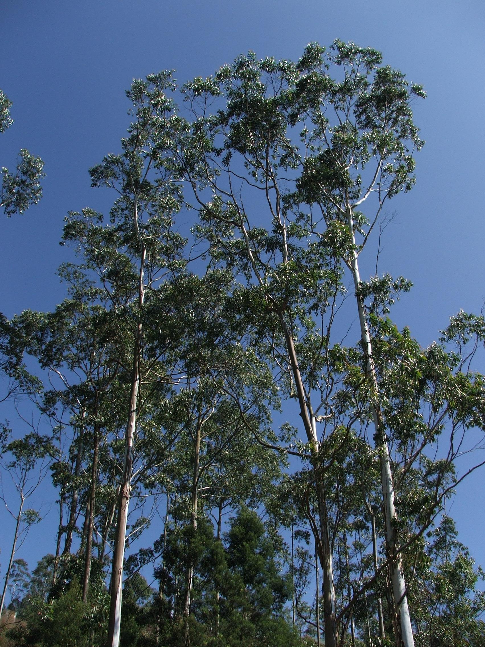 Eucalyptus Tree Pictures 71