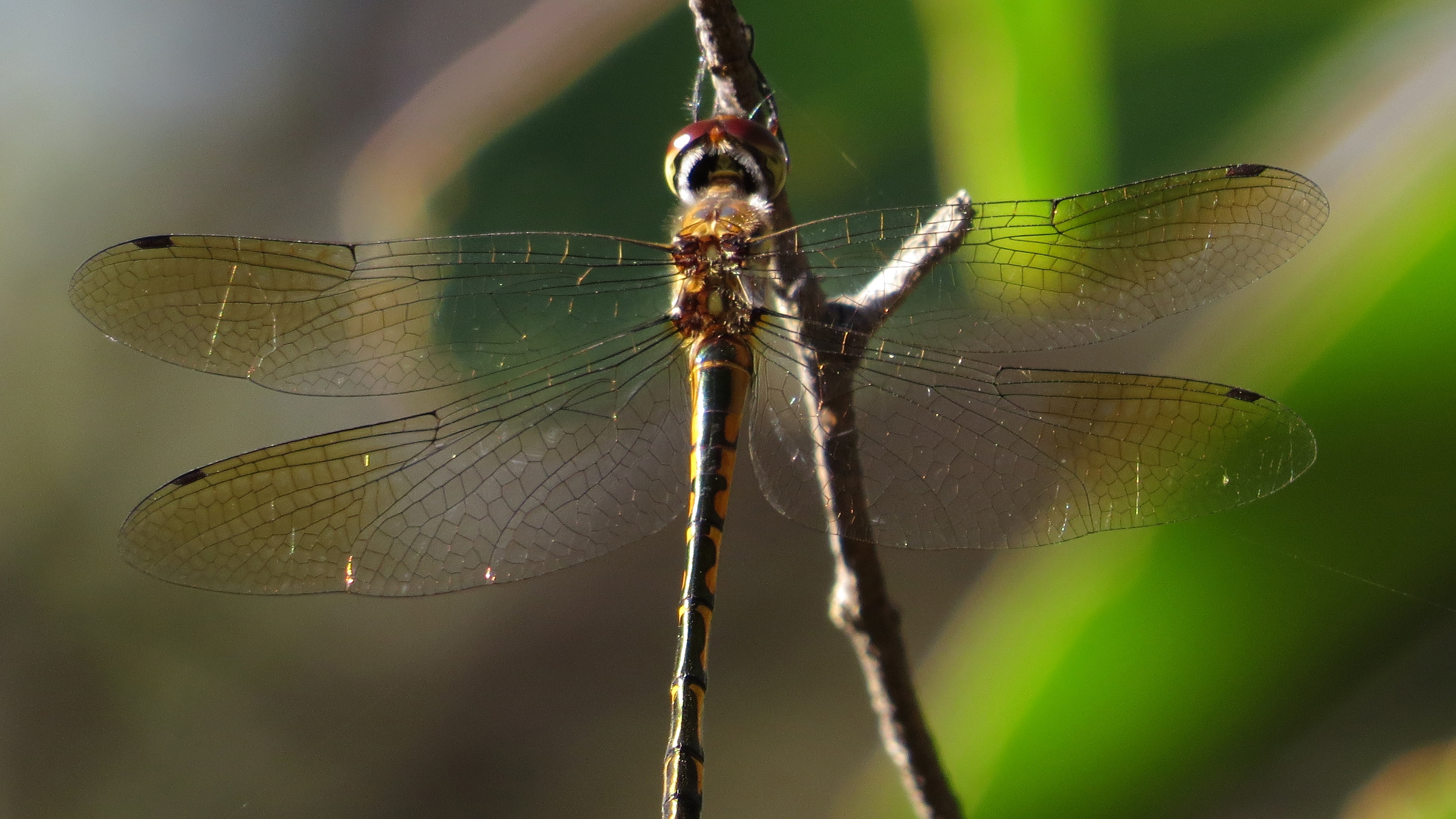 photo photos image stock australian dragonfly emerald