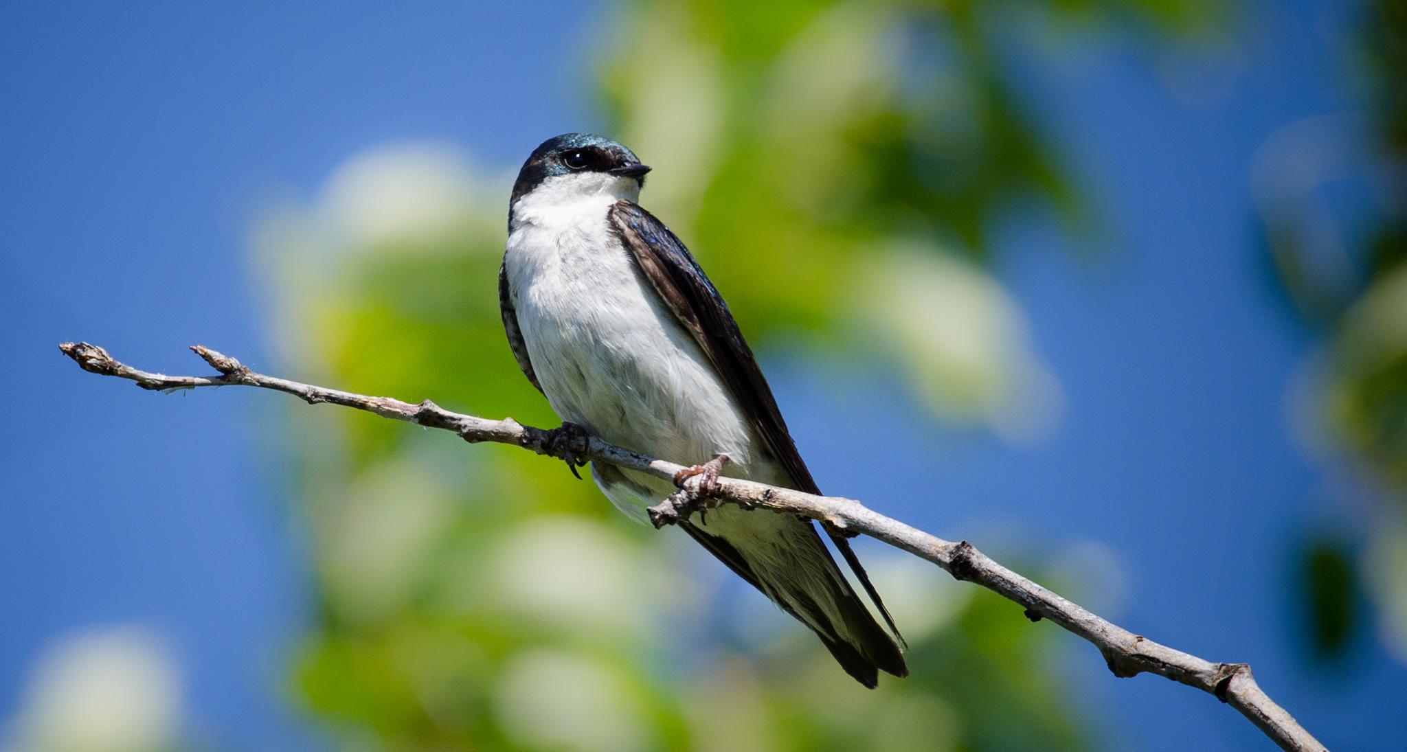Tree Swallow Female