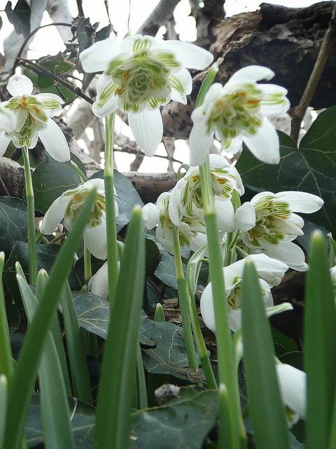 Species of UK: Week 7: Common snowdrop (Galanthus nivalis) International Trade Graph