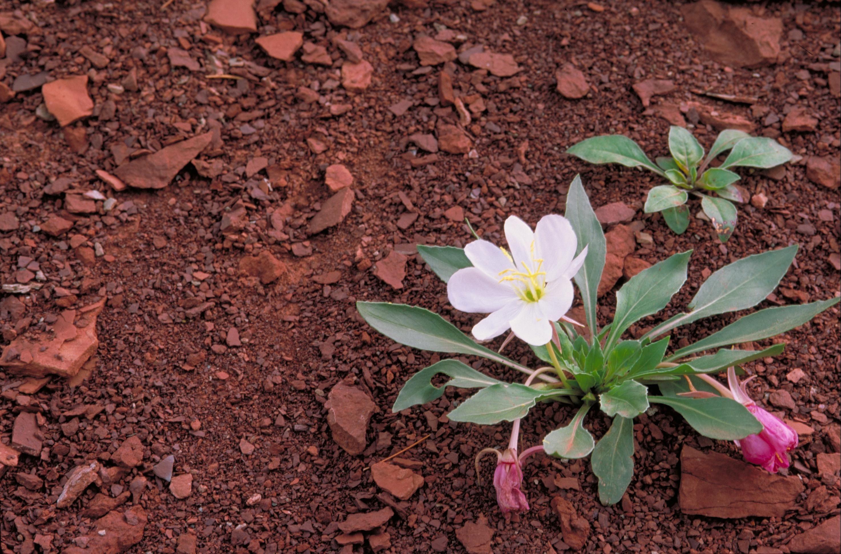 Filegumbo Lily Flower Evening Primrose Oenothera Caespitosag