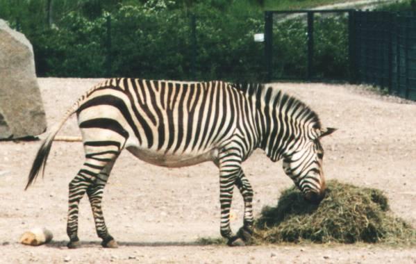 Zèbre de montagnes au zoo de Berlin.