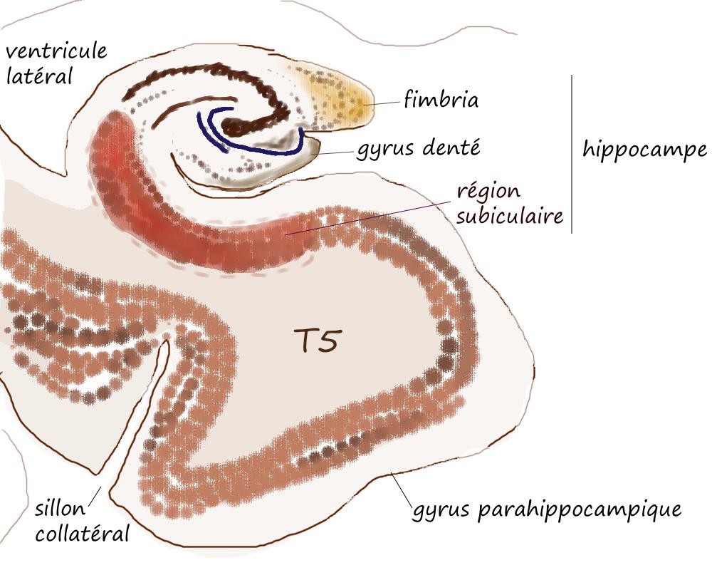 T5 : hippocampe et gyrus parahippocampique - Pancrat - Wikimedia Commons