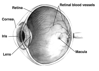 ไฟล์:Human eye cross-sectional view grayscale.png